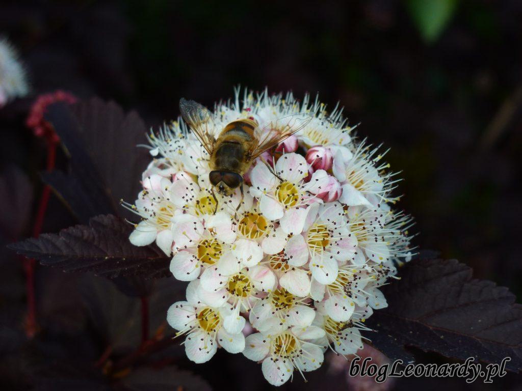 Pęcherznica diabolo kwiat 1
