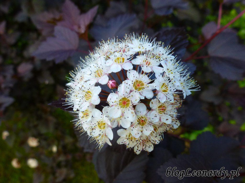 Pęcherznica diabolo kwiat 3
