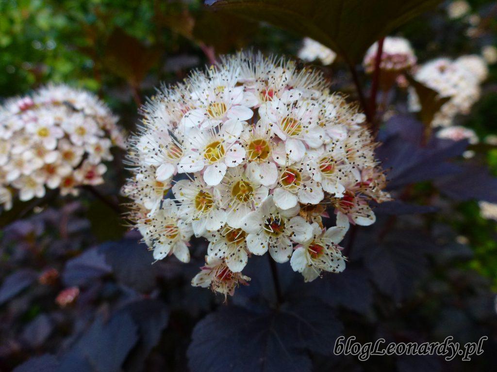 Pęcherznica diabolo kwiat 5