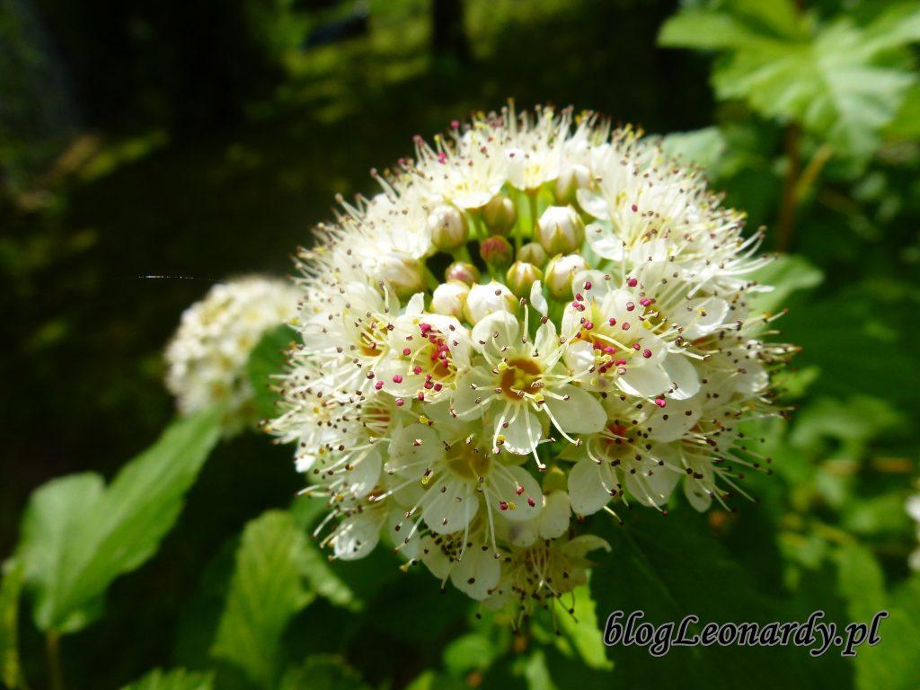 Pęcherznica luteus kwiat 2