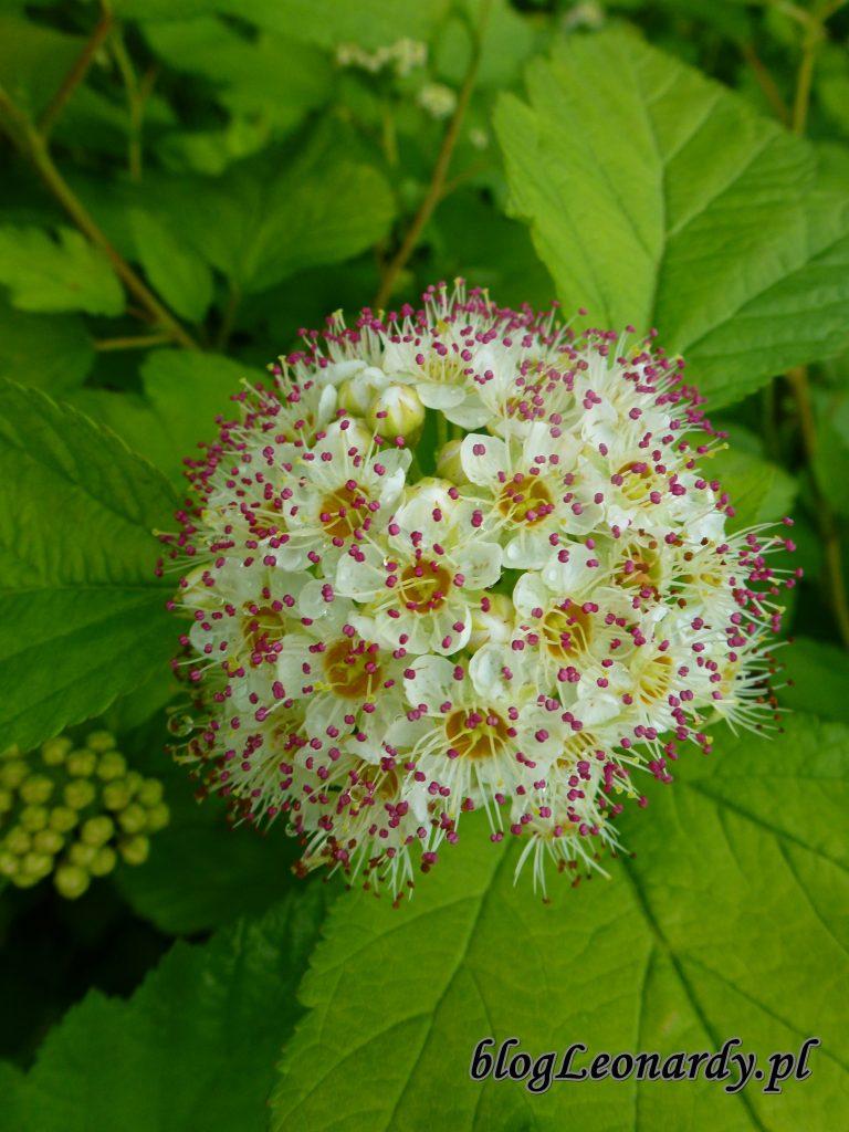 Pęcherznica luteus kwiat 3