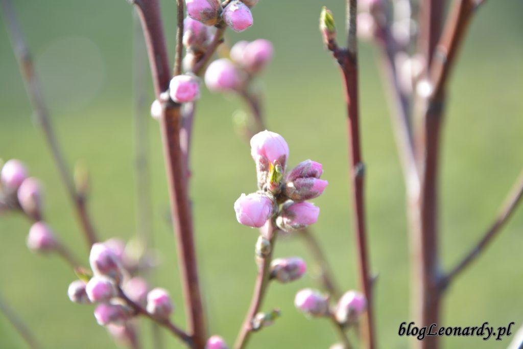 brzoskwinia 1