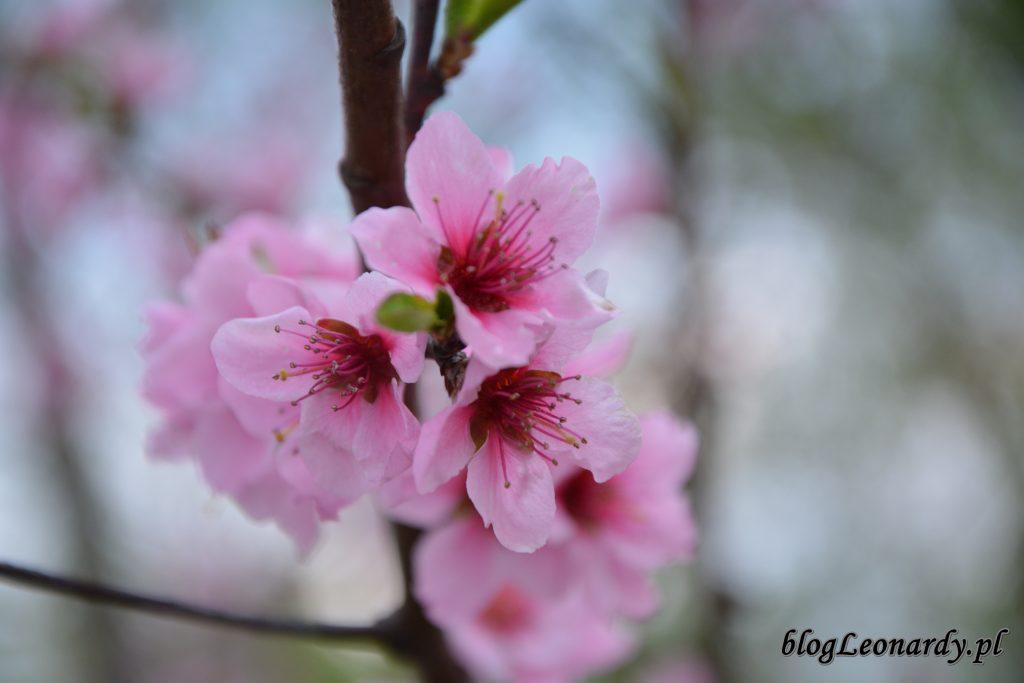 nektaryna 2