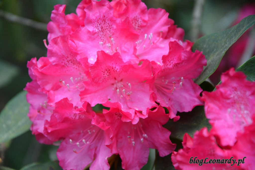 Rhododendron 'Edward S. Rand' 1