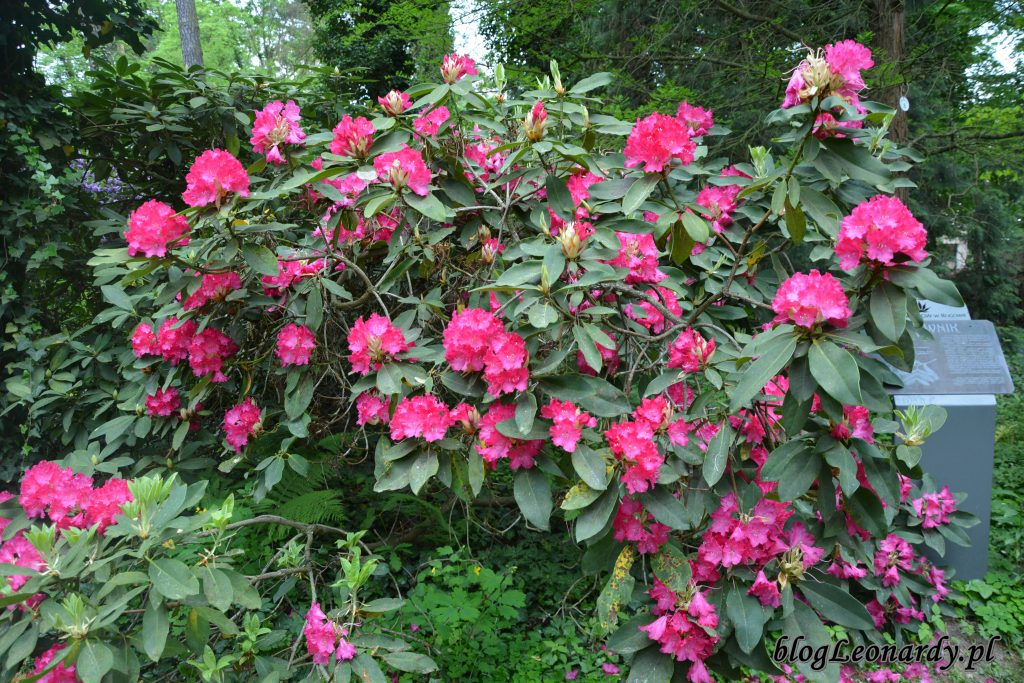 Rhododendron 'Edward S. Rand' 2