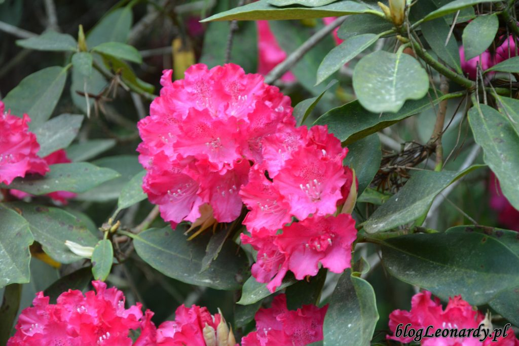 Rhododendron 'Edward S. Rand' 3