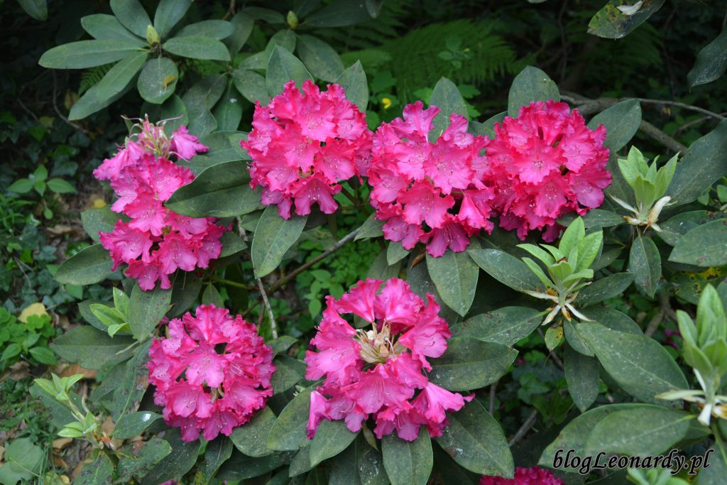 Rhododendron 'Edward S. Rand' 4