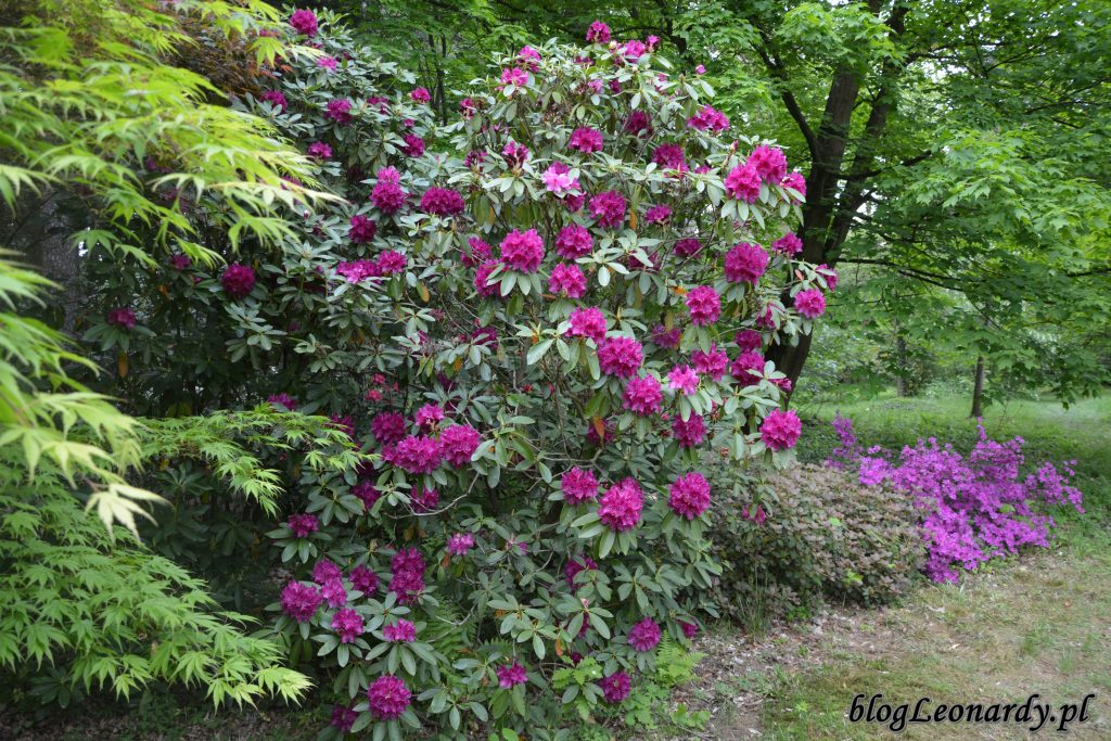 Rhododendron Old Port 1