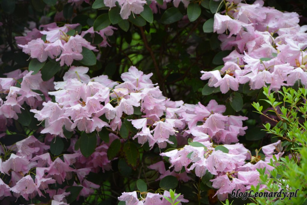 Rhododendron 'Pink Bountiful' 1