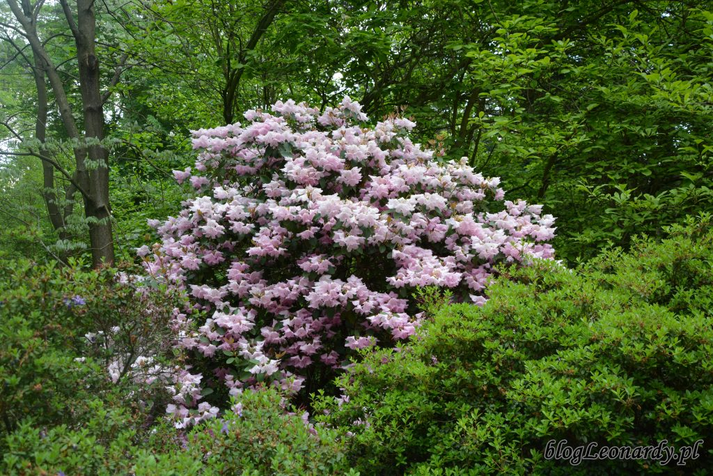 Rhododendron 'Pink Bountiful' 3