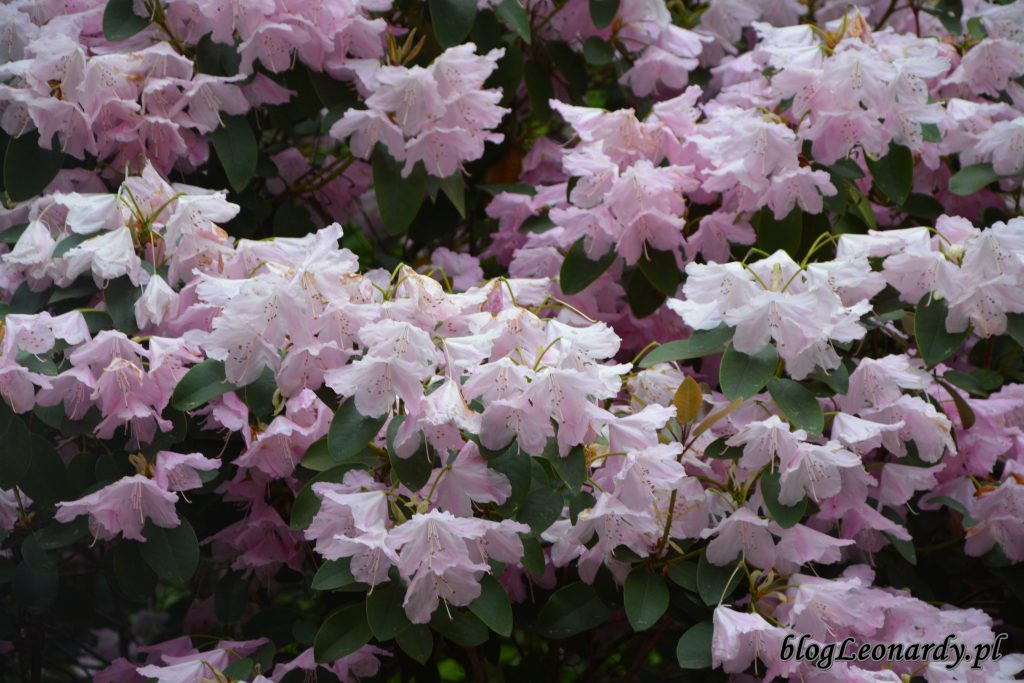 Rhododendron 'Pink Bountiful' 4