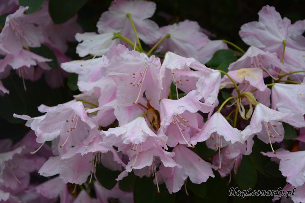 Rhododendron 'Pink Bountiful' 5