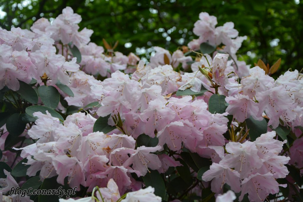Rhododendron 'Pink Bountiful' 6