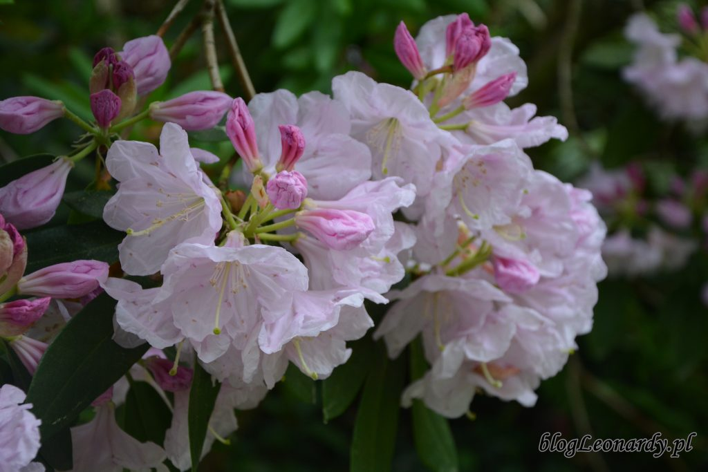Rhododendron dichroathum Diels 1