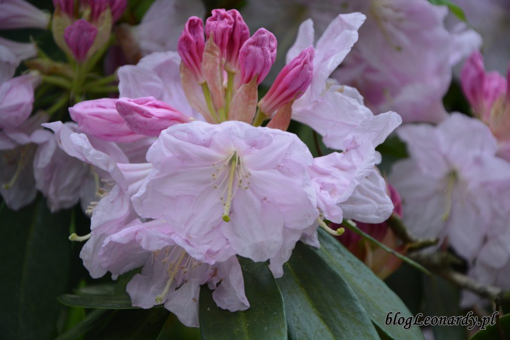 Rhododendron dichroathum Diels 2
