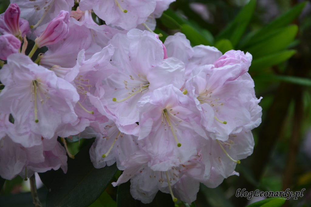 Rhododendron dichroathum Diels 3