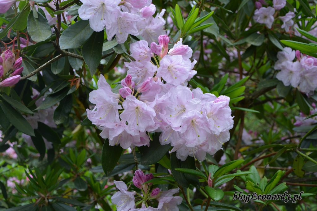 Rhododendron dichroathum Diels 4