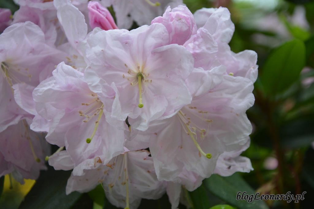 Rhododendron dichroathum Diels 5