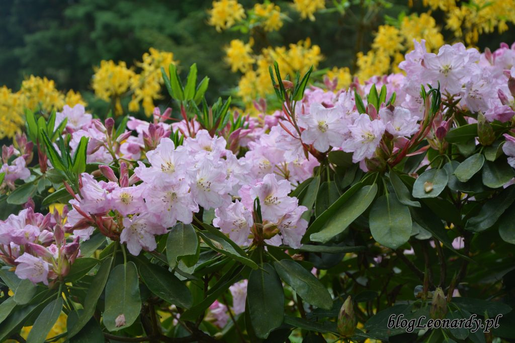 Rhododendron dichroathum Diels 7