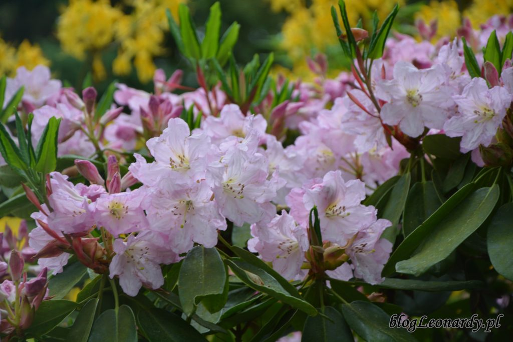 Rhododendron dichroathum Diels 8