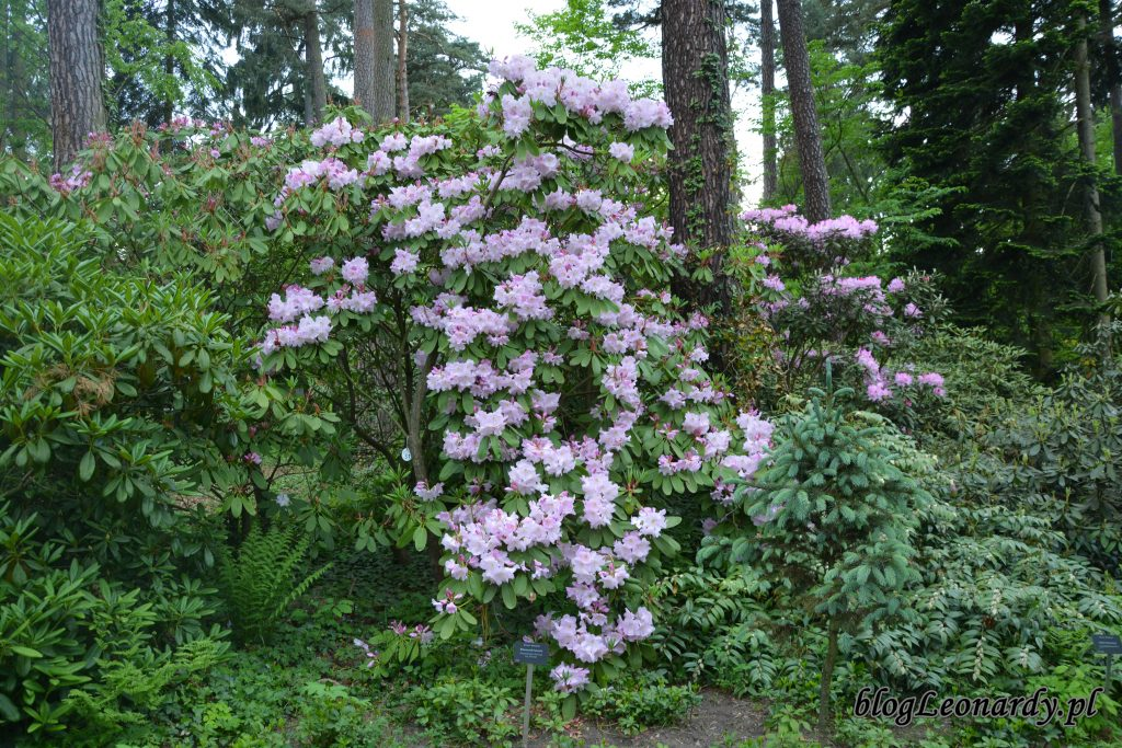 Rhododendron fortunei (Fortune'a) 1