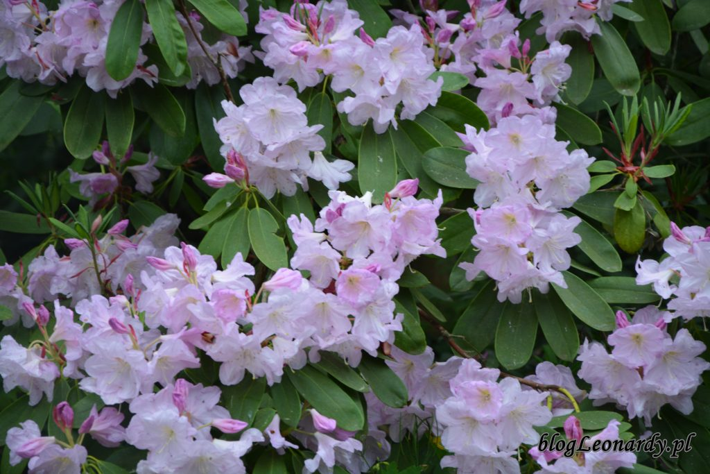 Rhododendron fortunei (Fortune'a) 2