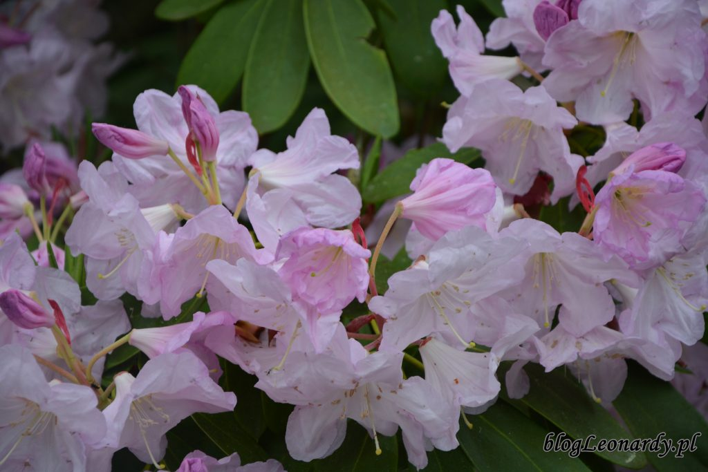 Rhododendron fortunei (Fortune'a) 4