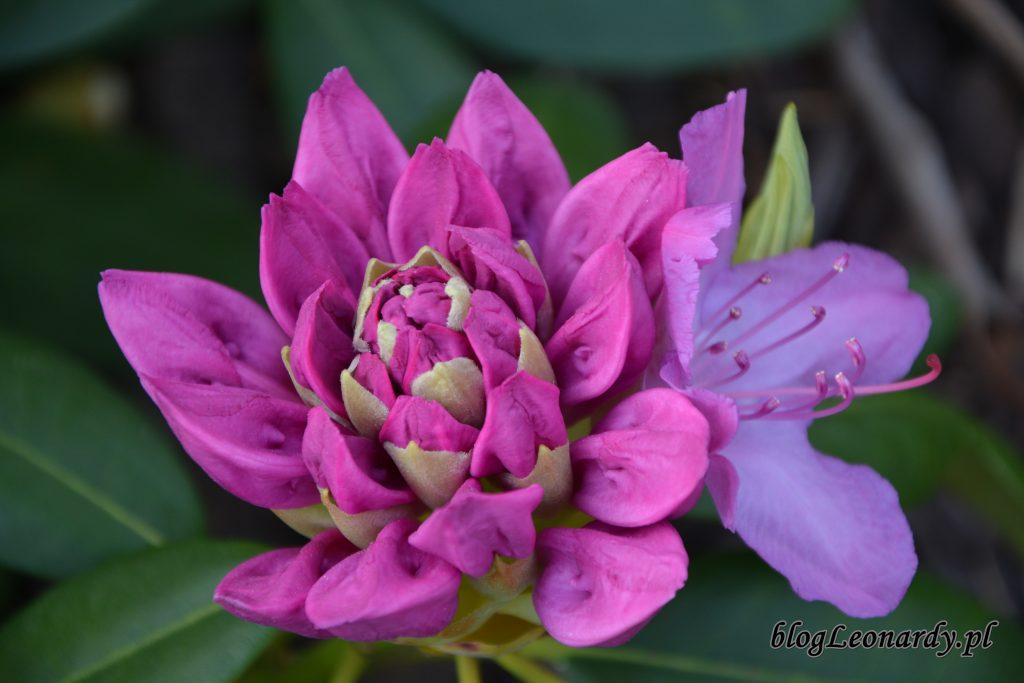 Roseum kwiat