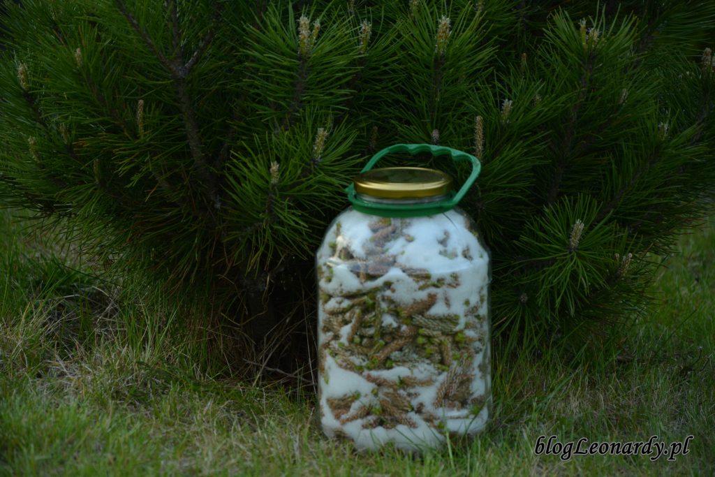 Syrop z młodych pędów sosny  skarby natury zamknięte w słoiku -> Kuchnie Z Sosny