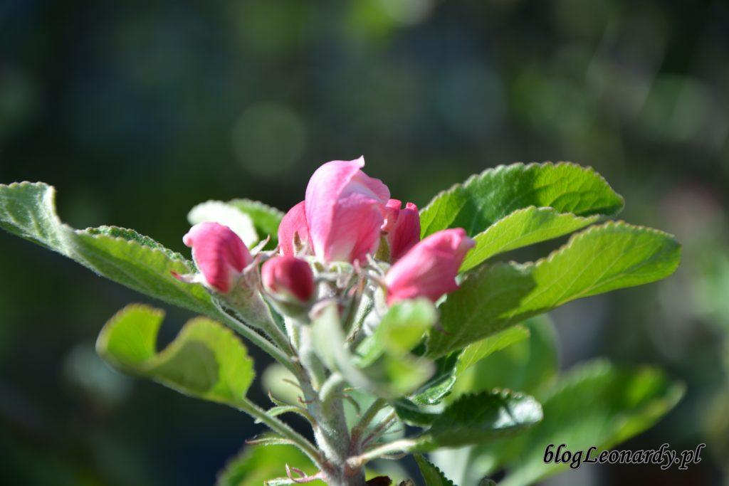 jabloń 1