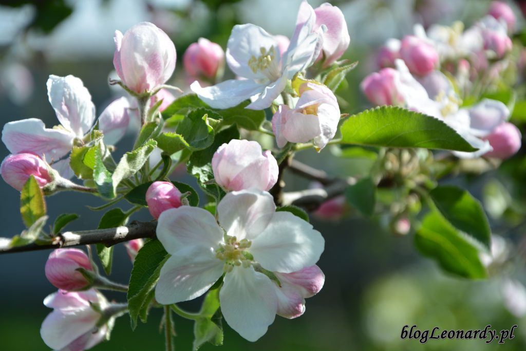 jabloń 3
