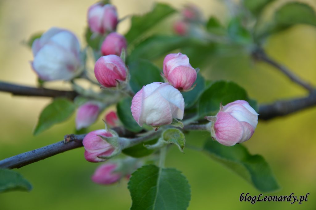 owocowo jabloń 2
