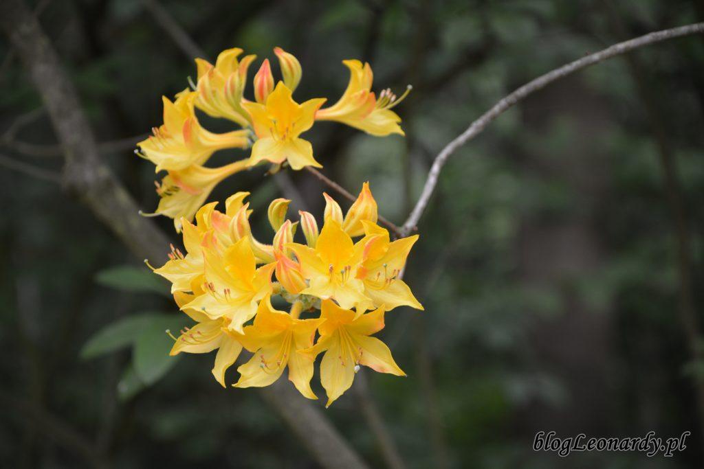 różanecznik żółty (rhododendron luteum sweet)
