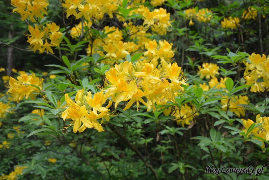 różanecznik żółty (rhododendron luteum sweet) 4