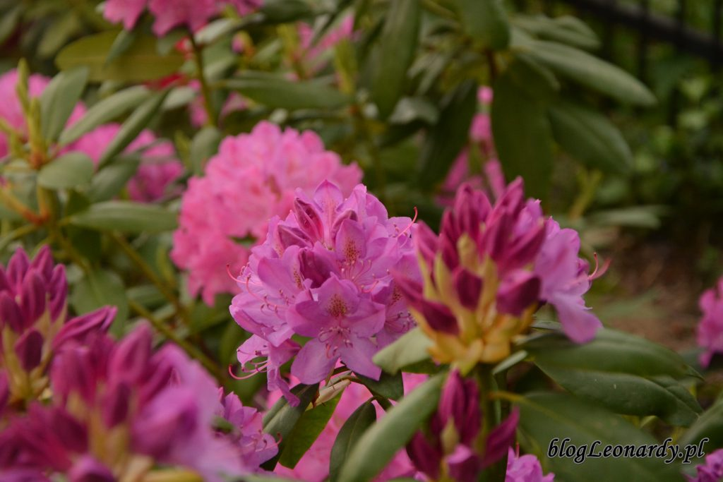 rododendron 2
