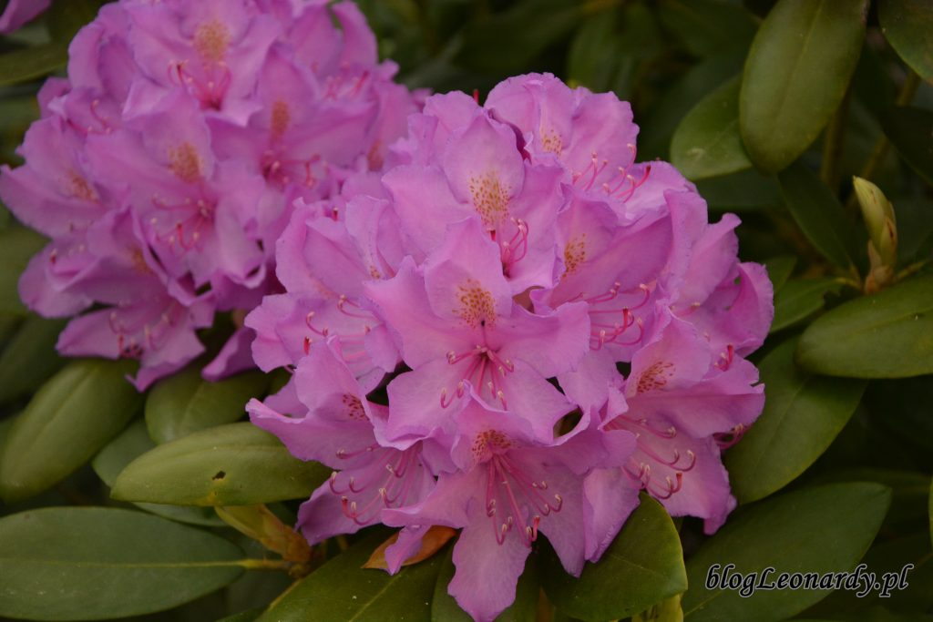 rododendron 4