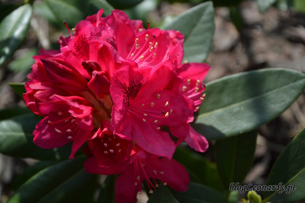 rododendron 8
