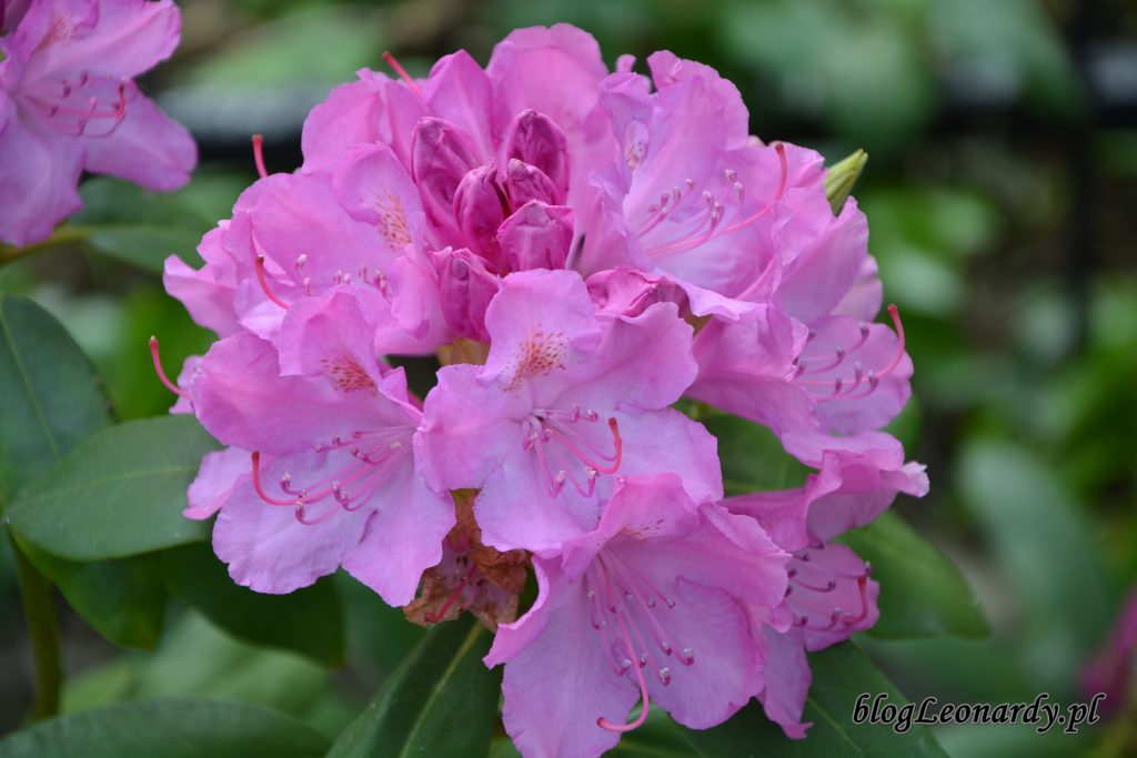 rododendron 9