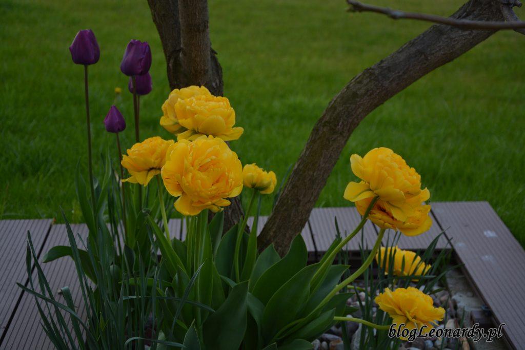tulipany żółte pełne 3