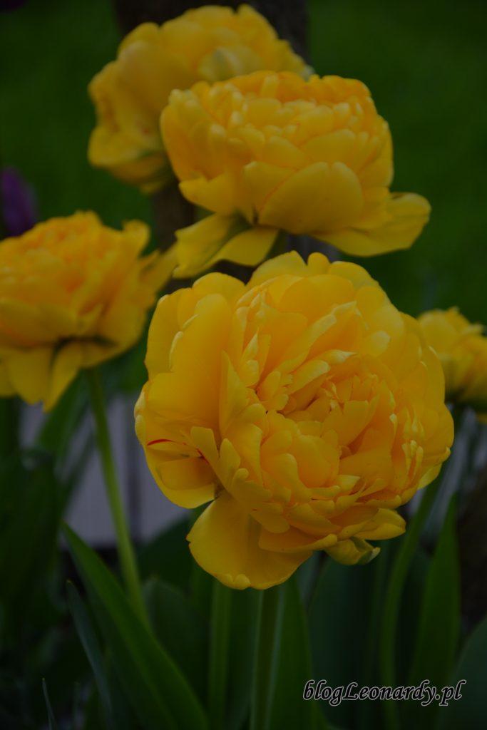 tulipany żółte pełne