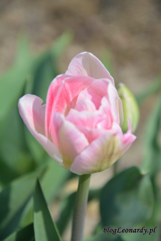 tulipany białe 1