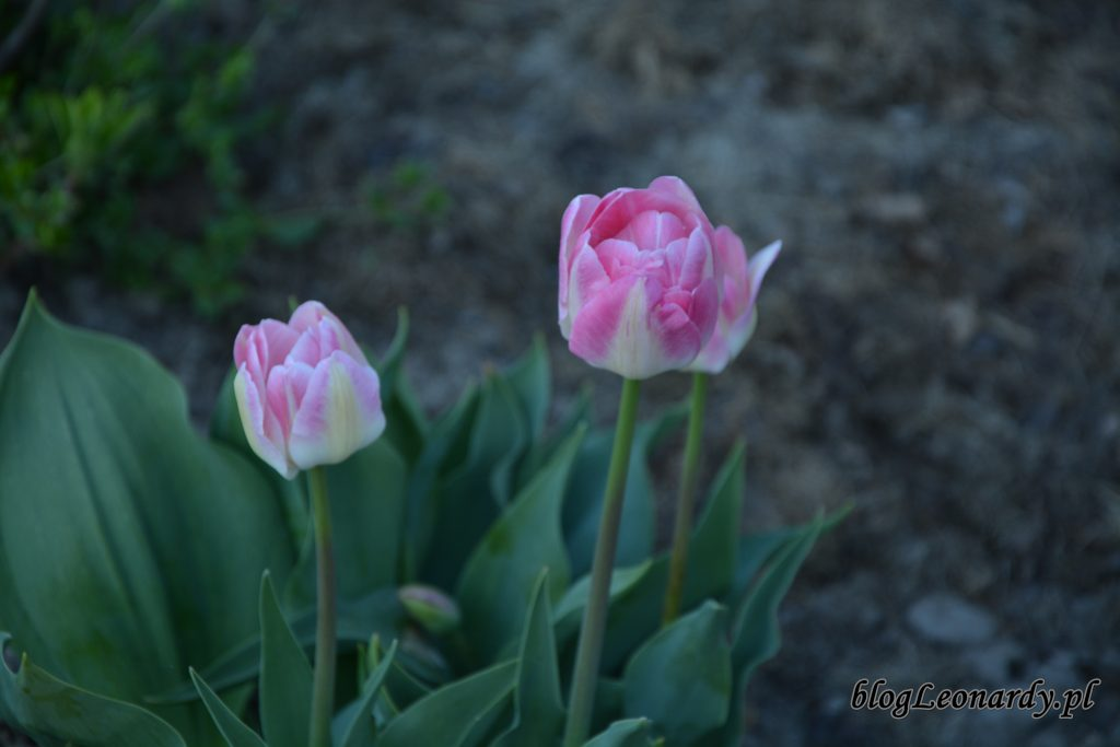 tulipany białe 2