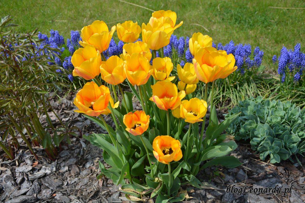 tulipany herbaciane 2