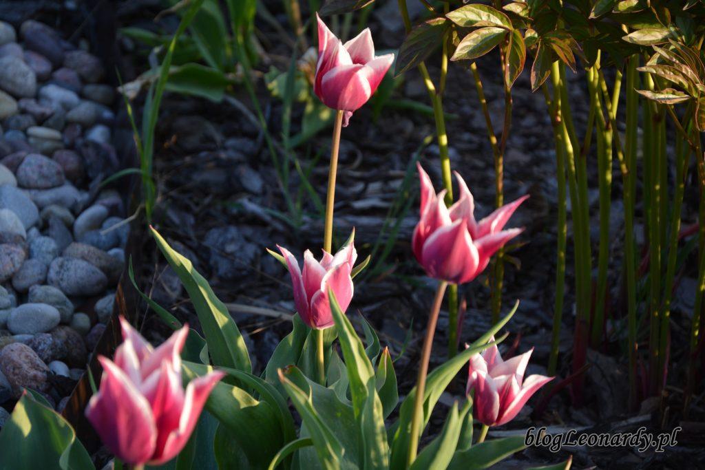 tulipany z bialym brzegiem 4