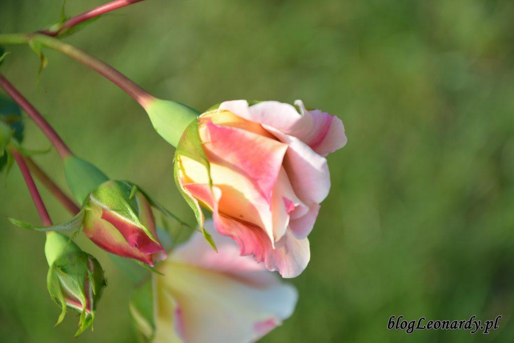 Róża compassion pąki