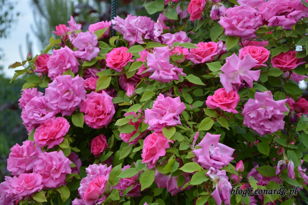 zephirine drouhin pierwsze kwitnienie