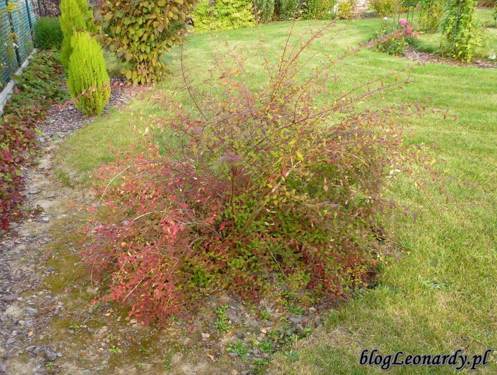 kolkwicja jesień