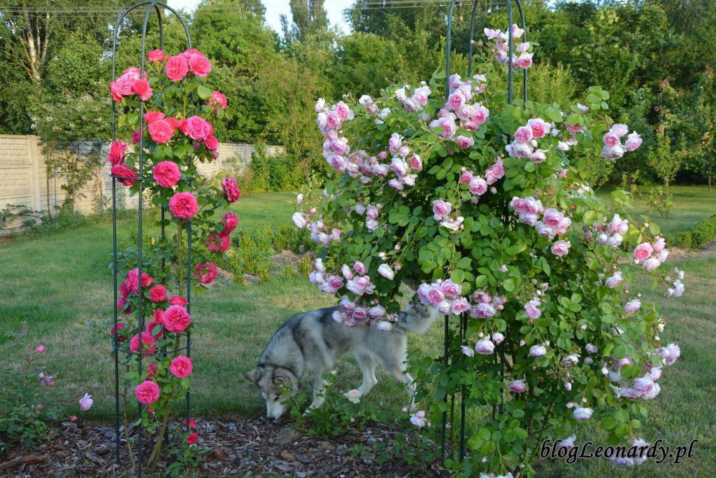 róże i pies