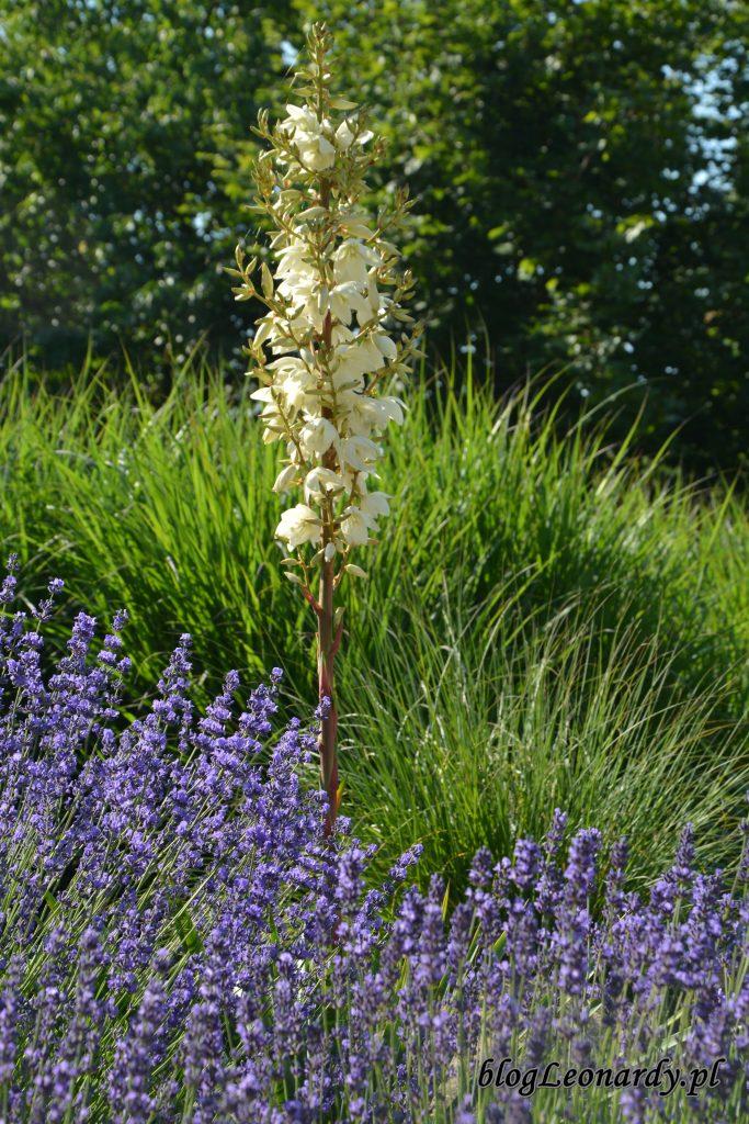 1. yuka, trawy i lawendy
