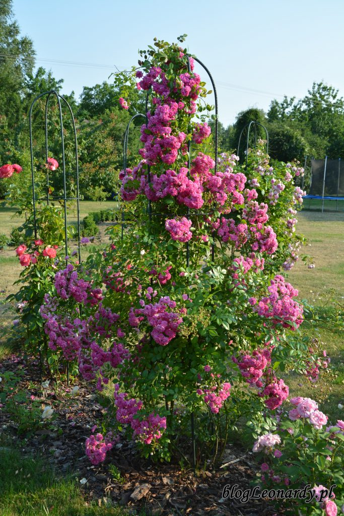 2 super dorothy róża